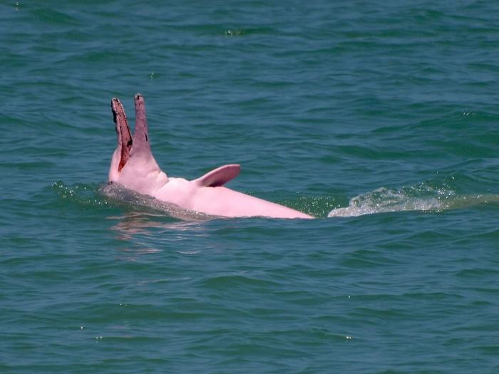 Розовый дельфин   редкость природы!