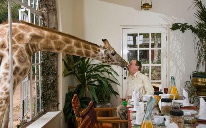 Единственное в мире поместье жирафов