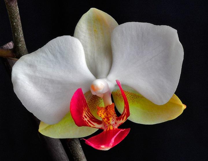 Орхидея   олицетворение любви и красоты