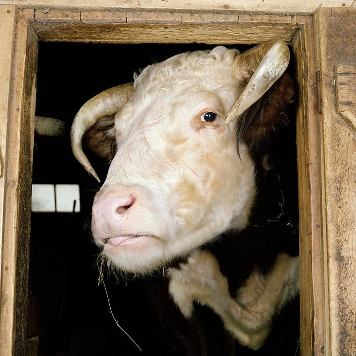 """""""Животные на ферме""""–фотопроект Роба МакИнниса"""