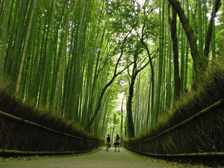 Бамбуковая роща в Японии