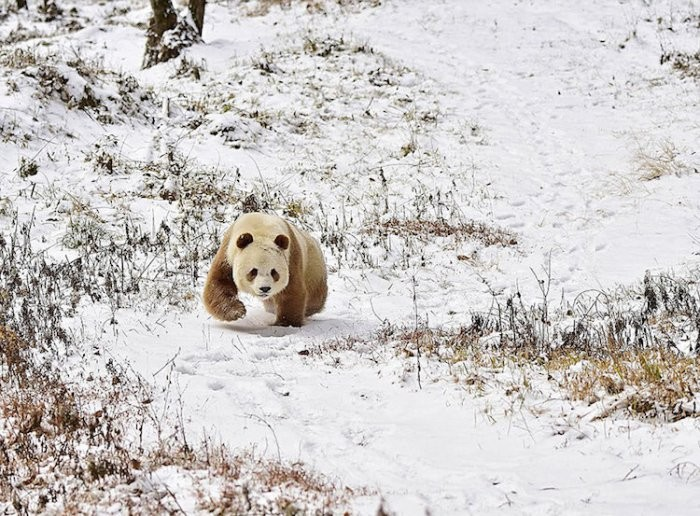 Единственная в мире бело коричневая панда!