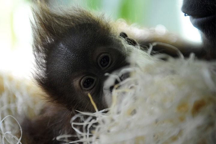Малыш орангутанга в зоопарке Мюнхена.  (Фото Christof Stache AP Photo) .