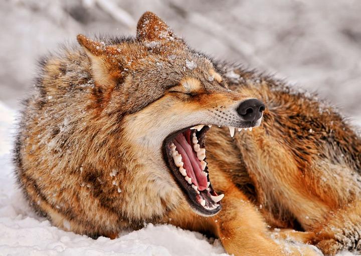 Волки, и мифы о них